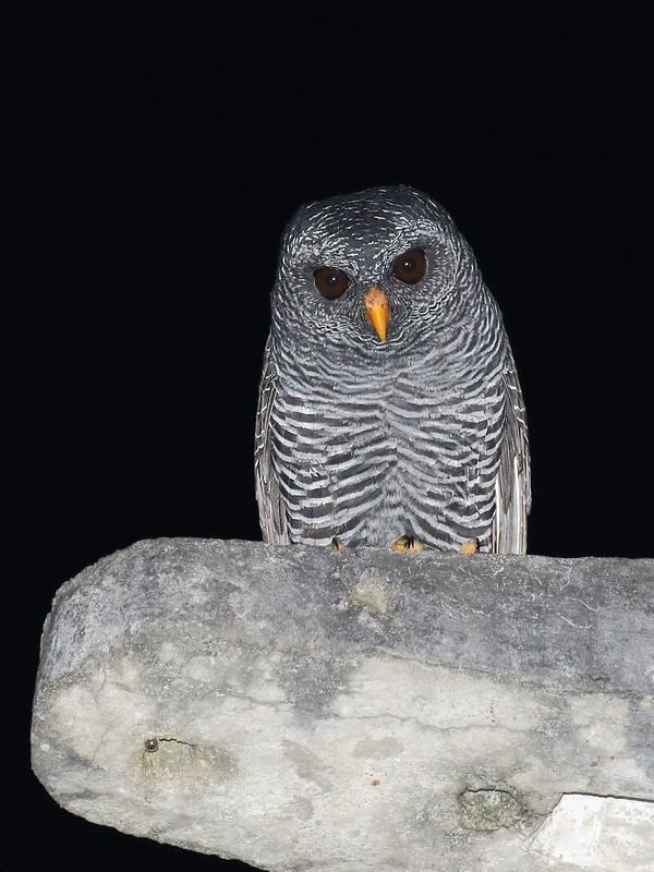 Black-banded Owl / Buho rufo bandeado