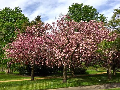 Kensington Gardens 2017 cherry blossom | by Fran Pickering