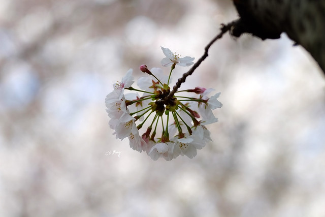 Sakura 櫻花