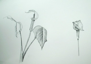 Jack-in-the-pulpit - graphite study