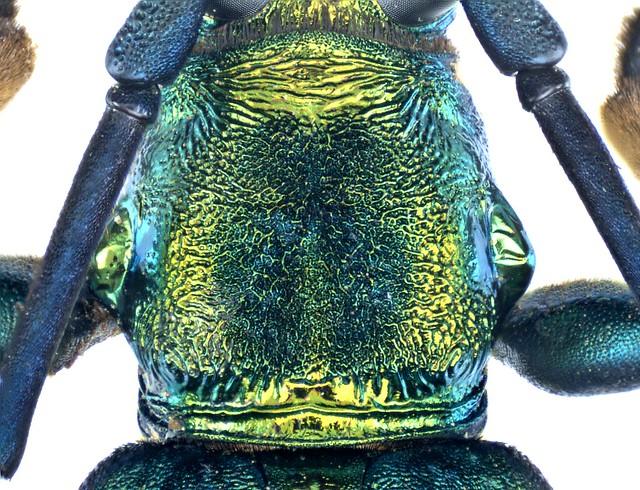 Polyzonus spec. 10 Pronotum