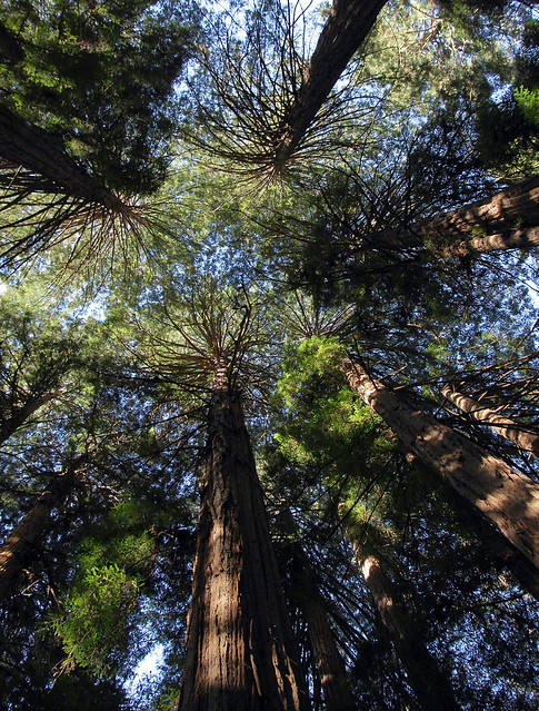 Looking up at the canopy, Muir Woods National Monument, Redwood Canyon, near Mill Valley, Marin, Ca., USA