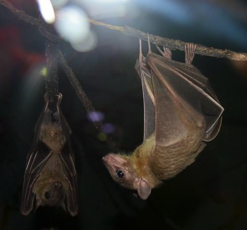 two mammal zoo texas bat hanging brownsville gladysporterzoo carolliaperspicillata shorttailedfruitbat nikond7000 nikkor18to200mmvrlens webbedwings
