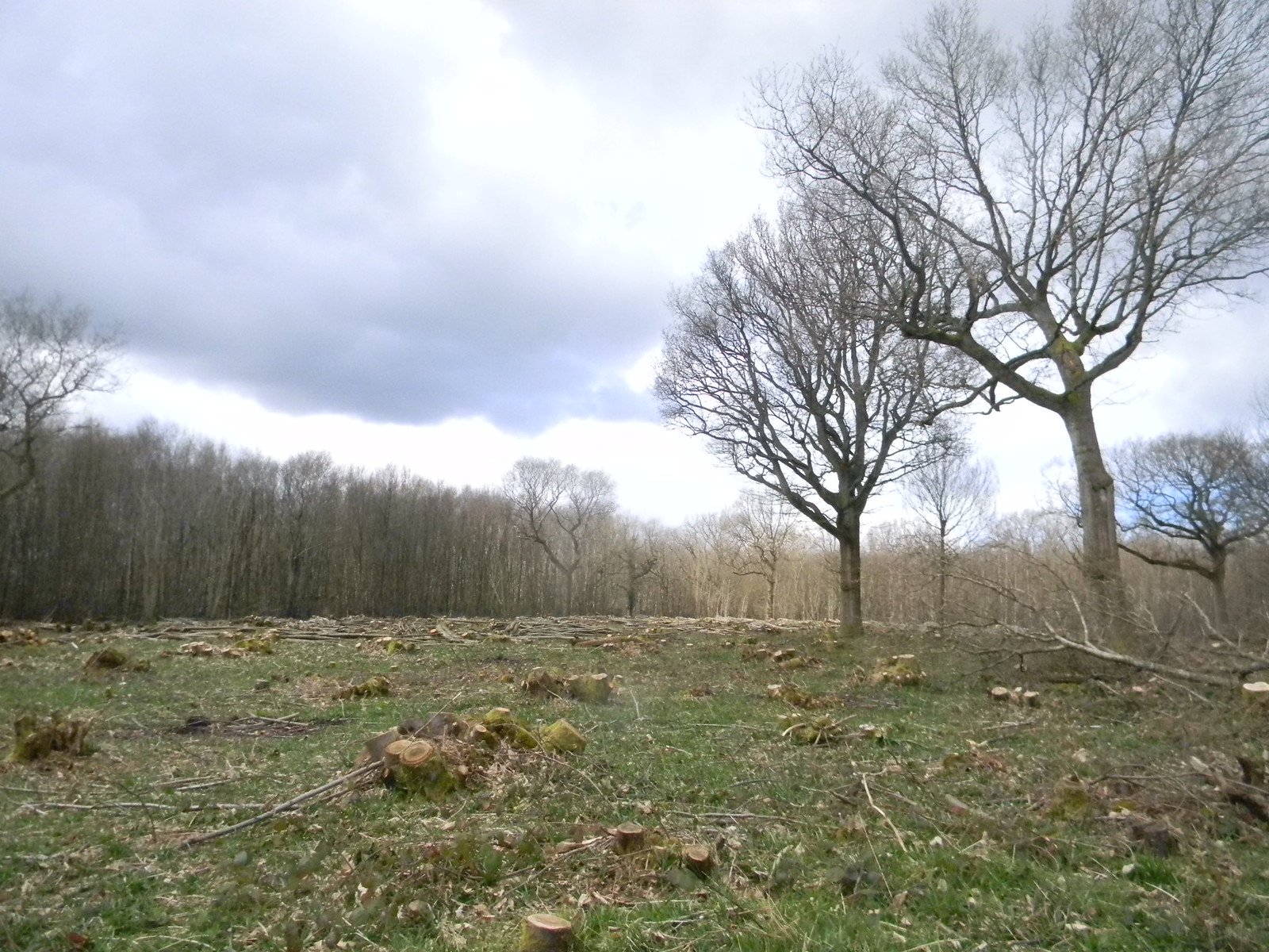 Newly coppiced Lenham to Hollingbourne