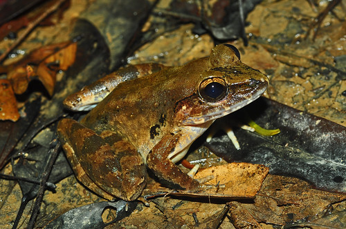 Giant River Frog (Limnonectes leporinus) | by Sky and Yak