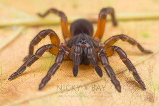 Brush-Footed Trapdoor Spider (Barychelidae) - DSC_8306 | by nickybay