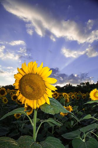 flowers sunset nature clouds landscape unitedstates maryland sunflowers poolesville mckeebesherswildlifemanagementarea nostrobistinfo canon5dmkii removedfromstrobistpool seerule2