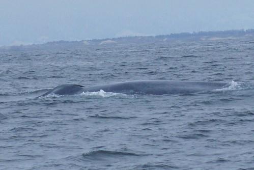 Blue Whale Blow Hole