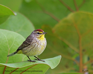 Palm Warbler | by AndrewWood15101