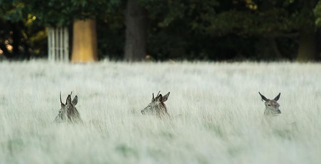 Richmond Park deer.