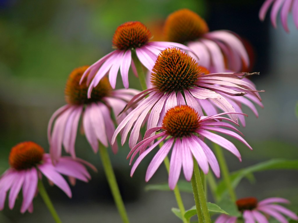Heilpflanze Echinacea purpurea