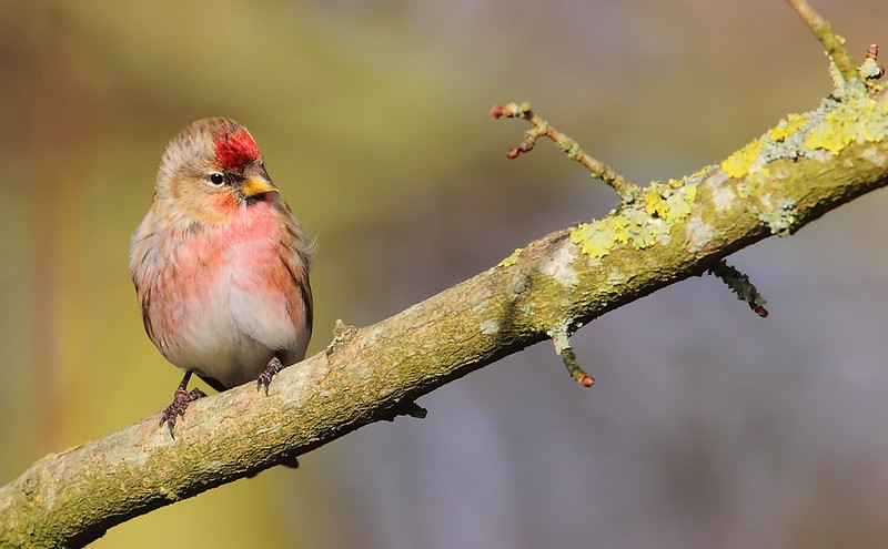 Common Redpoll  - male
