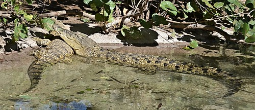 two zoo texas reptile crocodile brownsville saltwatercrocodile crocodylusporosus gladysporterzoo nikond7000 nikkor18to200mmvrlens