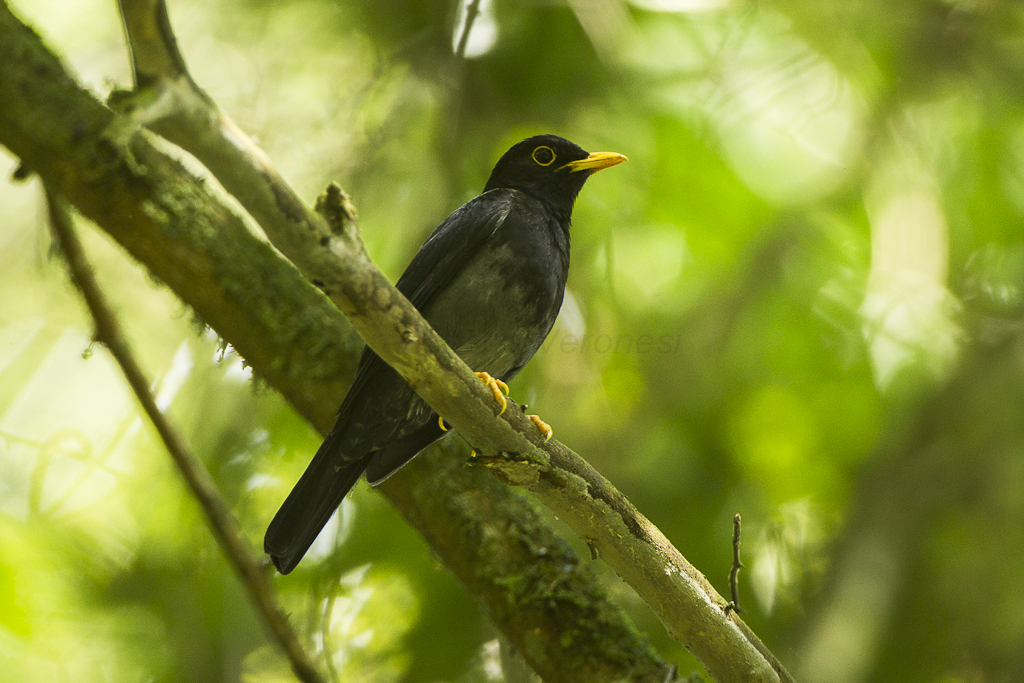 Yellow-legged Thrush - Intervales NP - Brazil_S4E0334