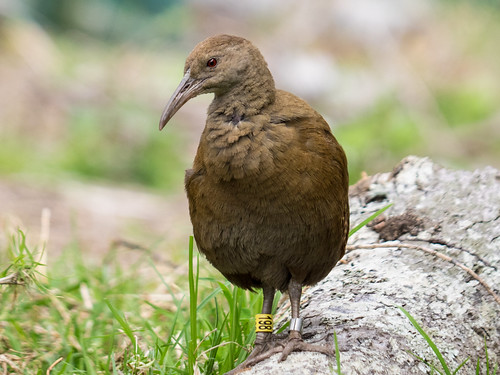Lord Howe Woodhen | by Duncan McCaskill