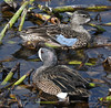 Blue-Winged Teal (Anas discors) by ehsimons