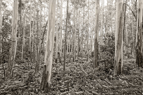 forest trees eucalypts gums gumtrees landscape ferns mainrangenationalpark queensland nikond800 nikon160350mmf40