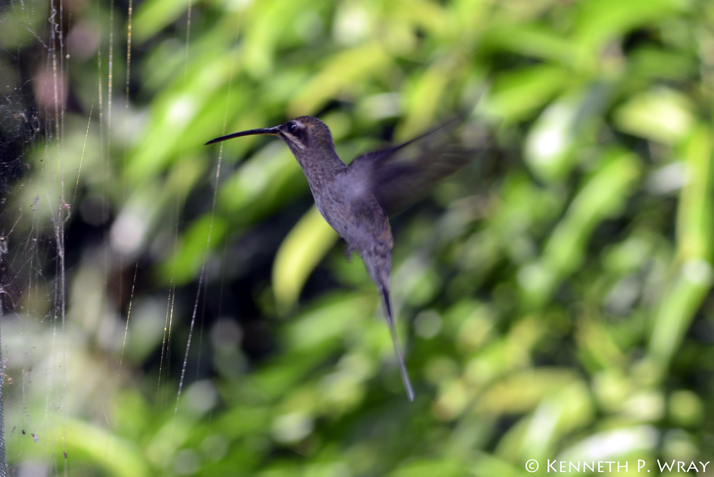 Phaethornis superciliosus (Long-tailed Hermit)