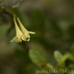 Utah Honeysuckle