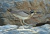 The Great Stone-plover or Great Thick-knee (Burhinus recurvirostris) by Suri JV (on and off)