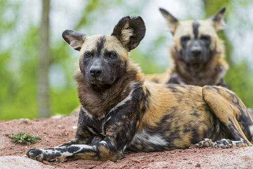 Two wild dogs posing | by Tambako the Jaguar