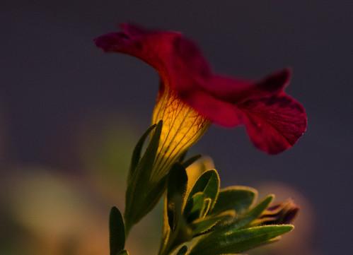 sunset flower macro illumination tamron90mm calibrachoa