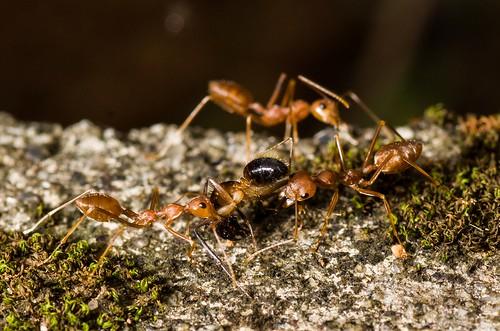 weaver ants nature macro