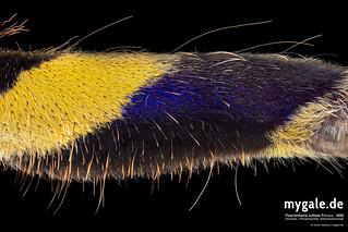 P. rufilata Femur leg I ventral (Tarantula Leg) | by mygale.de