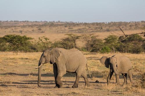 olareorokconservancy africa kenya wildlife olare kicheche masaimara narokcounty ke