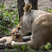 Lion mum taking care of cubs