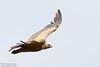 Griffon Vulture, Gyps fulvus by Kevin B Agar