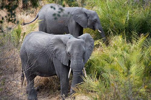 Elephants having a snack | by rogersmj