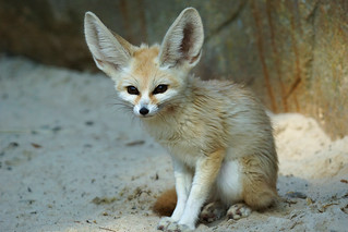 Fennec fox | by hehaden