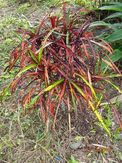 Codiaeum variegatum 'Zanzibar' | by Gelo--2014