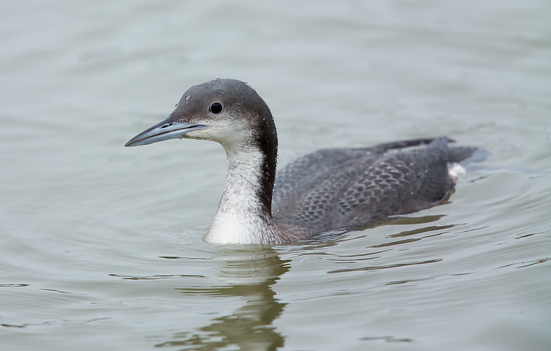 Black-throated Diver [juvenile]