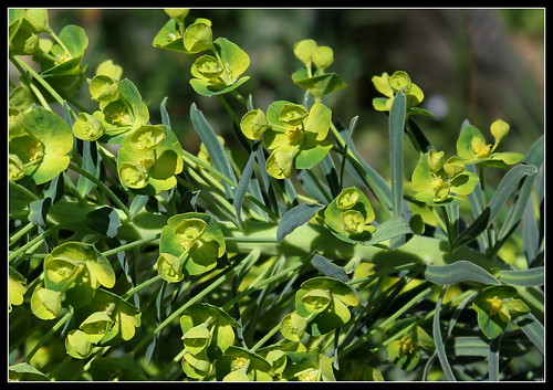 Euphorbia characias (2) | by Neira Magic'B