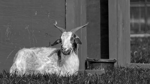 geo:lat=3555621763 geo:lon=8258534834 geotagged pisgahview animal asheville ashevillenc ashevillenorthcarolina ashevillephotography ashevilletourism avl bw biltmore biltmoreestate biltmoreestategardens biltmorefarmyard blackwhite blackandwhite blacknwhite bnw buncombecounty buncombecountync buncombecountynorthcarolina farmanimal farmyard goat monochrome monochromeblackandwhite nature nc northcarolina northcarolinatourism outdoor thebiltmoreestate thebiltmoreestategardens touristattraction traveldestination unitedstates usa westernnc westernnorthcarolina wnc