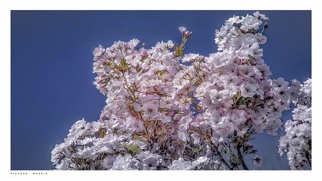This morning's cherry blossom.