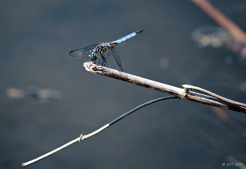 bluedasher containmentpond dragonfly insect male nature naturewalk pachydiplaxlongipennis sterlingridge texas thewoodlands viewsoftexas zeesstof