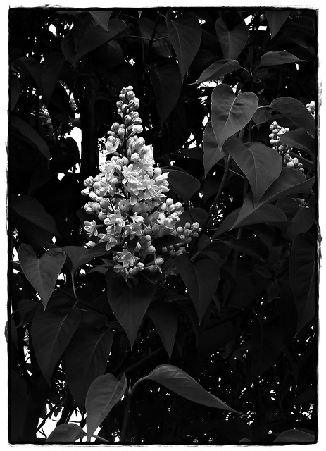 6 - Lilas blanc