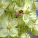 Honeybee on the flowers of a green gentian.