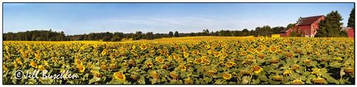 flowers ontario yellow bravo pano sunflowers redbarn flamborough flamboro 8205 8337 anawesomeshot jillsjunk