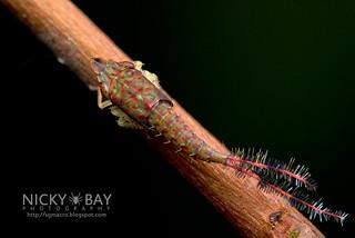 Leafhopper nymph (Hylicinae) - DSC_3310