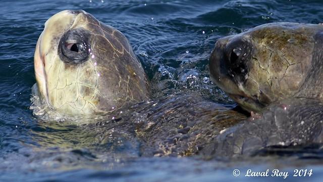 Chelonia mydas / Tortue verte / Green Sea Turtle