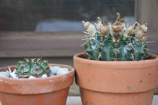 Parodia mammulosa (= Notocactus mammulosus) 32690793634_b420aca4f8_z
