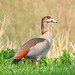 Egyptian Goose - Photo (c) Corine Bliek, some rights reserved (CC BY-NC)
