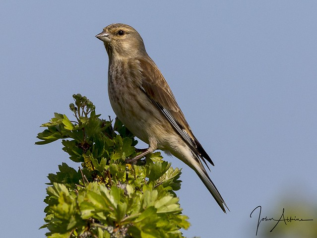 Linnet at Nene Park 09/04/17