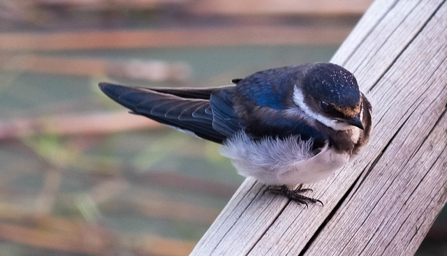 Young swallow in Pilanesberg, South Africa