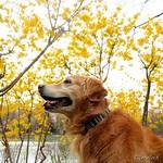 #レンギョウ #連翹 #月寒公園 #池 #花 #春 #forsythia #pond #blossom #flower #spring  #犬 #ゴールデンレトリーバー  #レトリバー #ゴールデン #犬バカ部 #癒しワンコ #ふわもこ部 #ゴールデンレトリバー  #retriever #goldenretriever #dog #retrievers #goldenretrievers #dogs . 北海道の風景は @hscape を見てね♪