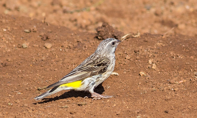 Black-throated Canary (Chrithagra atrogularis) in Pilanesberg